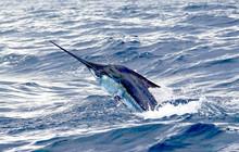 Blue Marlin Jumping, Sport Fishing In Costa Rica