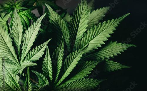 wide cannabis leaves marijuana medical plant Canvas Print
