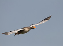 A Greylag Goose Flying Over To...