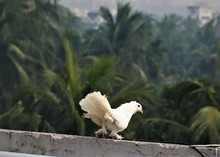 Indian White Fantail Pigeon