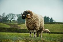Ram On The Field