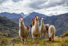 Llamas On The Trekking Route F...