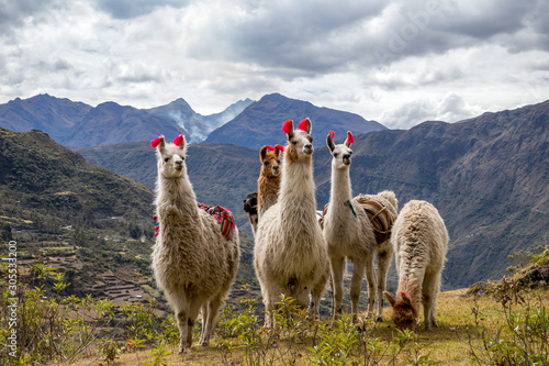 Fototapeta Llamas on the trekking route from Lares in the Andes. obraz