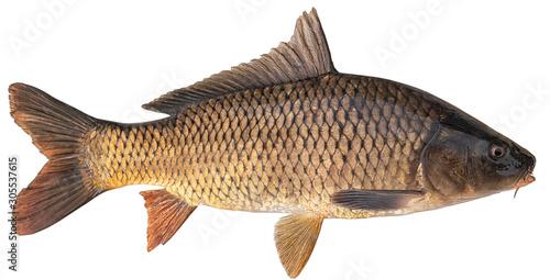 Slika na platnu Freshwater fish isolated on white background closeup
