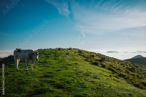 Brown cows and bulls grazing in meadow with lush green grass on hill under blue cloudless sky during daytime in summer - 305540000