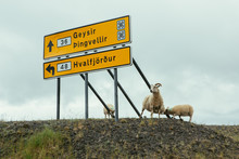 Large Yellow Billboard With Sign By Road And White Sheep Nearby Looking At Camera In Iceland