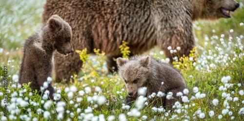 She-bear and playfull bear cubs Tablou Canvas