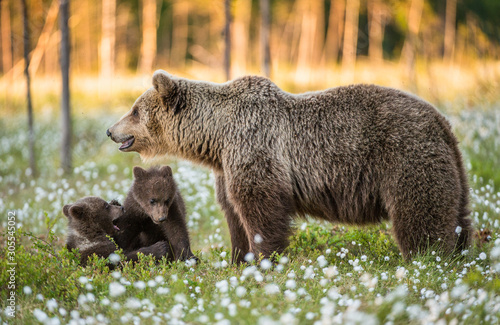 She-bear and playfull bear cubs Canvas-taulu