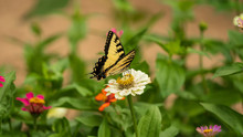 Tiger Swallowtail Butterfly On Flower Blossoms