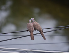 Couple Of Zebra Doves On The Wire At Thailand