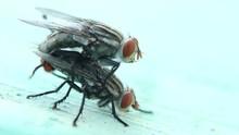House Flies Mating, Macro