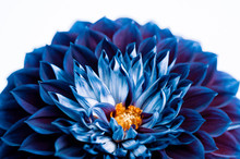 Blue And Purple Dahlia Petals