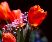 Tulip With Deep Red Color In Bouquet On Dark Background