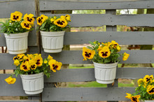Yellow Flowers In Pots On Wooden Fence Background
