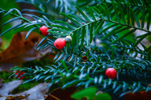 Christmas Tree With Red Berrys