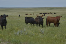 Black & Red Angus Cattle On Green Prairie Grass