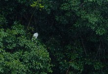 Closeup Of A White Cattle Egret Bird Among Green Leaves