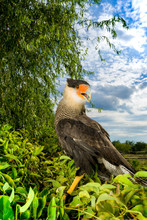 The Southern Crested Caracara (Caracara Plancus), Also Known As The Southern Caracara Or Carancho, Is A Bird Of Prey In The Family Falconidae. Live At South America.