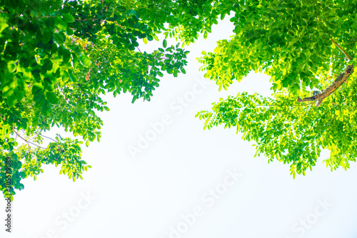 Cuadros en Lienzo Green tree flora leaf of Burma Padauk against sun light