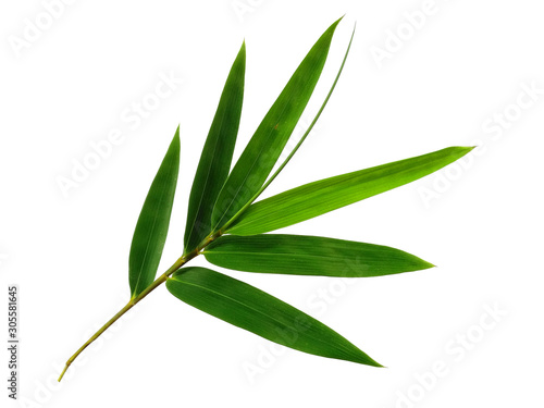 Fototapeta Tree with green leaves. The name of the plant is Bambusoideae. Bamboo leaf on white background. obraz na płótnie