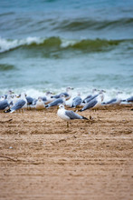Ring-billed Gull (Larus Delawarensis) Facing A Different Direction