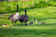 Family Of Wild Geese With Two Goslings Talking And The Rest Eating