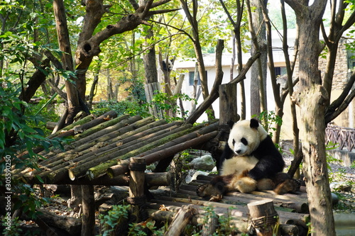 Giant panda resting on the bamboo made platform Fototapeta