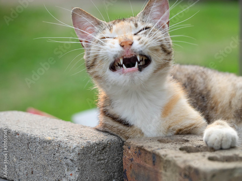 A feral cat appears to be laughing