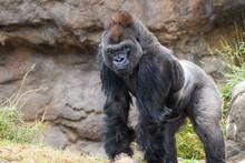 Male Silverback Western Lowland Gorilla (Gorilla Gorilla Gorilla) Smiling