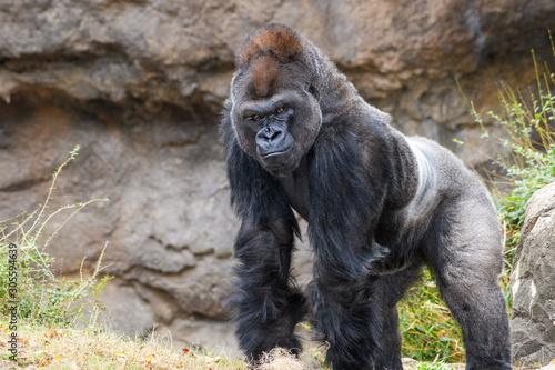 Male Silverback Western Lowland gorilla (Gorilla gorilla gorilla) smiling Wallpaper Mural
