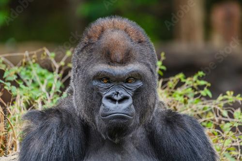 Photo Male Silverback Western Lowland gorilla (Gorilla gorilla gorilla)