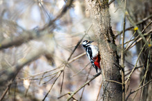 Spotted Woodpecker Sitting On ...