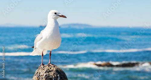 Fototapeta Close up of a Seagull in Sea Point Cape Town South Africa