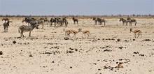 Herd Of Zebras And Some Little Springboks Standing In Bushland In Etosha Nationalpark / Namibia