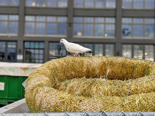 Selective Focus Of A Beautiful, White Homing Pigeon Resting On Some Straw In Downtown Seattle, WA.