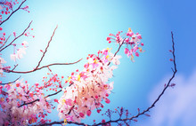 Spring Tree With Pink Flowers Illuminated By The Sun Against Blue Sky