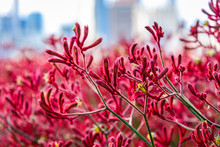 Australian Native Plant 'kangaroo Paw' Is Blooming In Red And Yellow With Distant City Skyline In The Distance