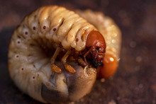 Larvae Of Dung Beetle Close-up...