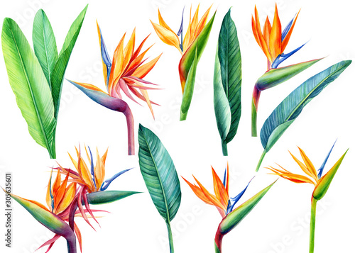 Obraz set tropical bright flowers and leaves, paradise flower, strelitzia on white background, watercolor illustration, botanical painting - fototapety do salonu