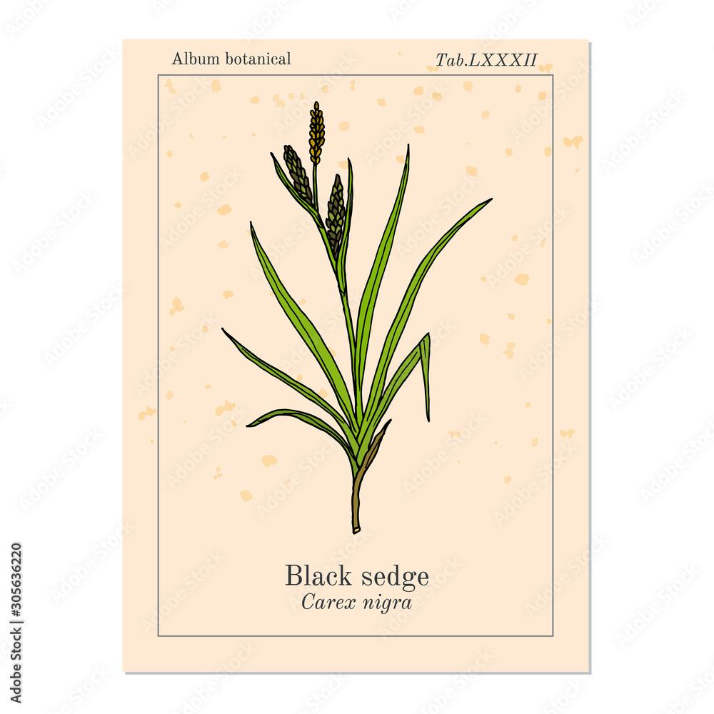 Fotografie, Obraz Black sedge carex nigra , medicinal plant
