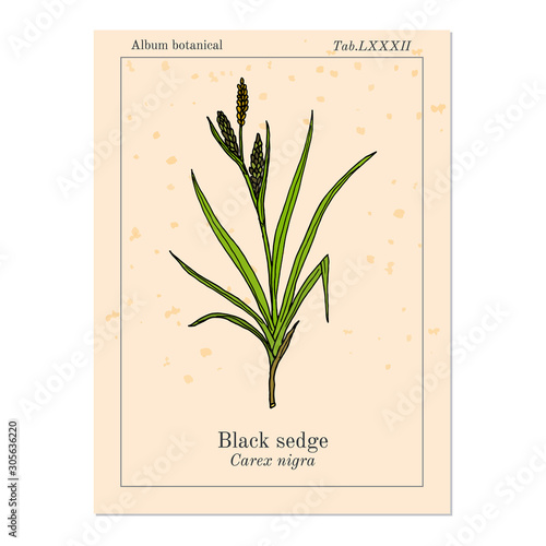 Black sedge carex nigra , medicinal plant Billede på lærred