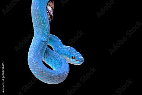 Fotografija blue insularis pit viper snake, trimeresurus insularis, venomous snakes
