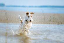 Fox Terrier Am Strand Läuft Freudig Durch Das Blaue Wasser