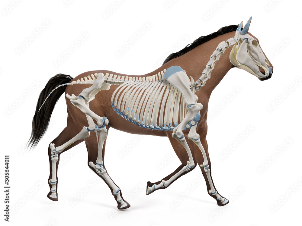 Fototapeta 3d rendered medically accurate illustration of the equine anatomy - the skeleton