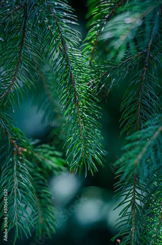 Fototapeta grüne Nadeln vom Nadelbaum  obraz na płótnie