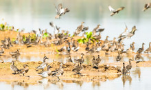 Flock Of Whistling Duck At Bue...