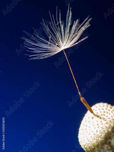 Fotografie, Obraz  one last dandelion seed macro photo on a blue background