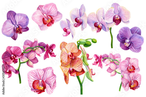 Fototapeta set of exotic orchid flowers on isolated white, botanical painting, watercolor illustration, tropical flora obraz