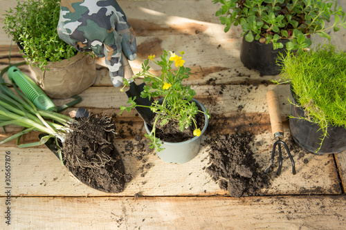 Fototapeta Seedlings, plants in pots and garden tools on the wooden table, green trees background - gardening concept obraz