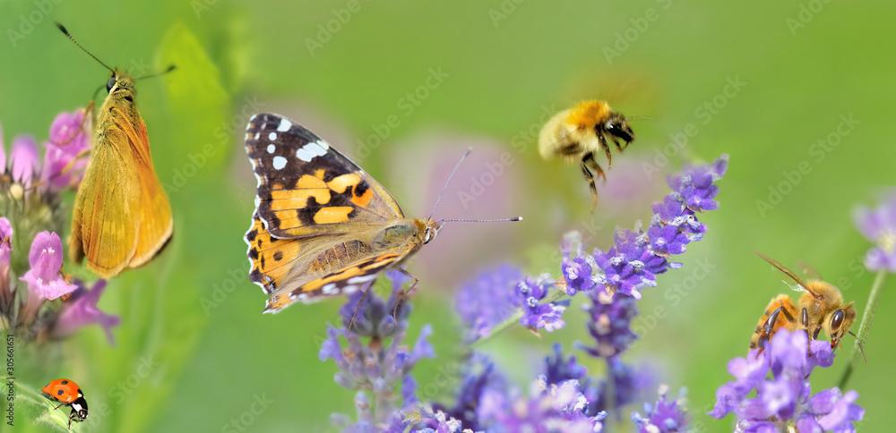Fototapeta honeybee,butterfly and lady bud  on lavender flowers in panoramic view
